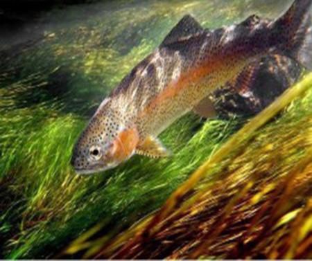 Câu Cá Hồi Thành Công Nhờ Am Hiểu Thị Giác Và Thính Giác Của Cá.