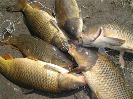 Hướng dẫn thiết lập thẻo câu KD hiệu quả cho câu cá chép